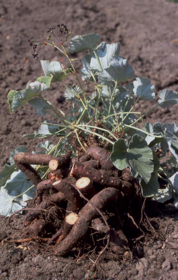 Pelargonium sidoides pelargonio influenza raffreddore